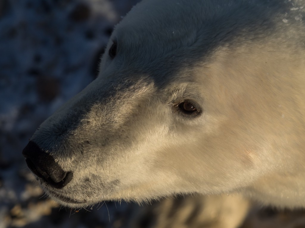 polar bear in Churchill.
