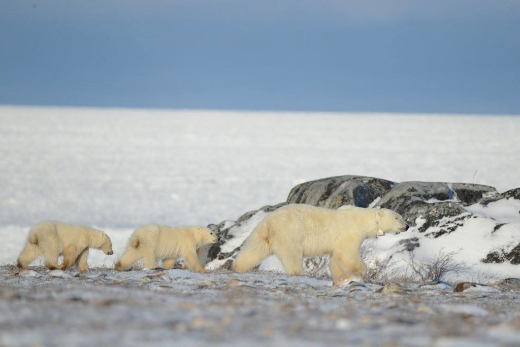 polar bears in Churchill.