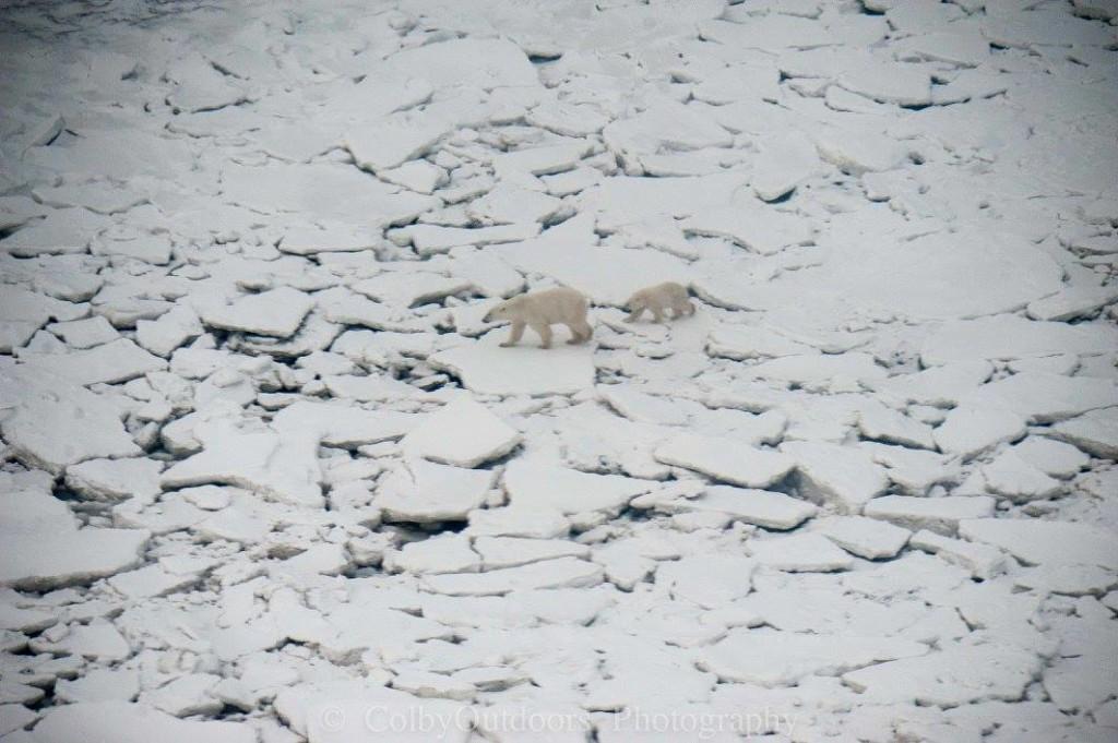 polar bear sow and cub churchill, Manitoba