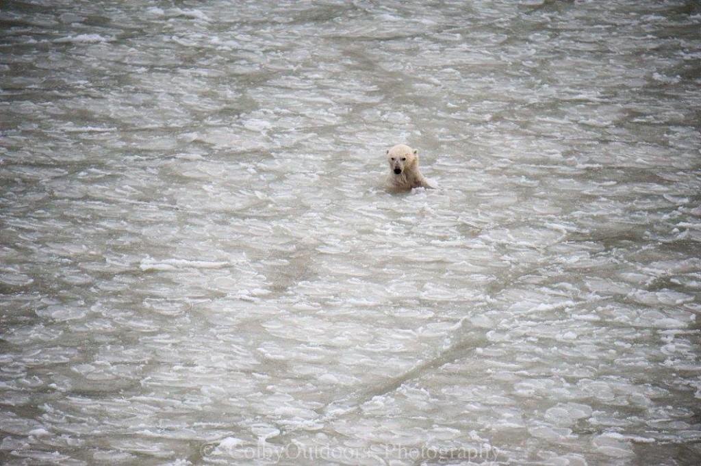 polar bear in the Hudson Bay Churchill, Manitoba