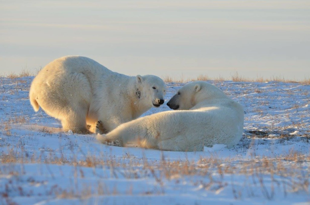 Polar bears Churchill, Manitoba