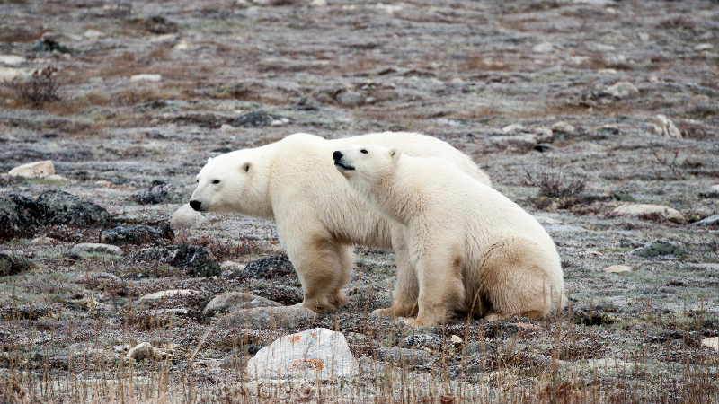 Churchill, Manitoba polar bears