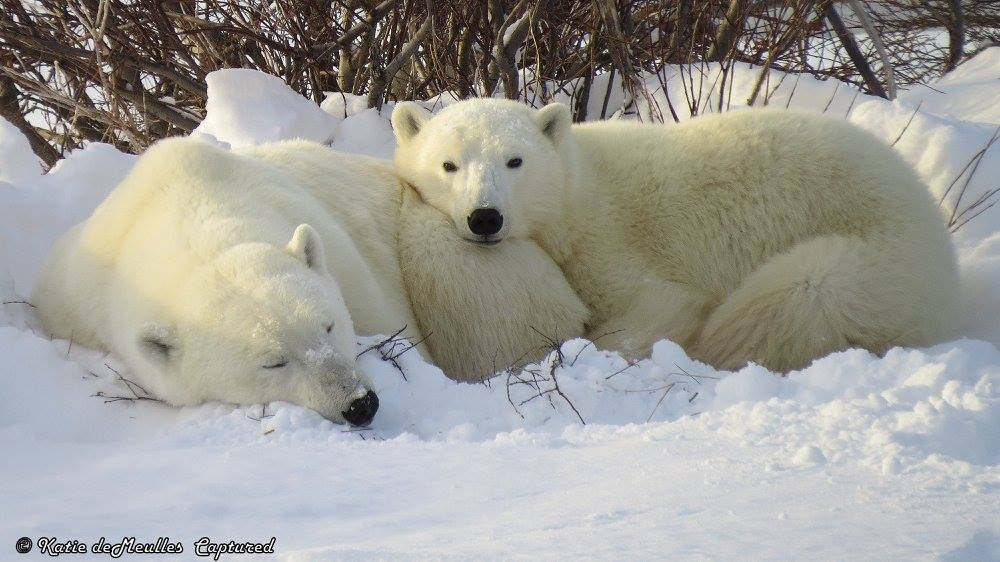 polar bears in Churchill, MB