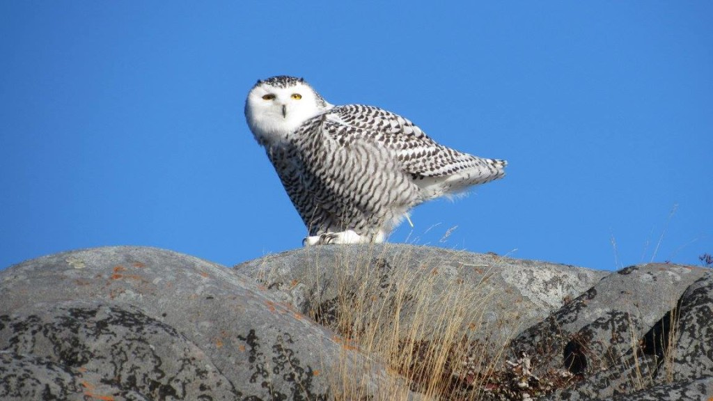 Snowy owl Churchill, Manitoba