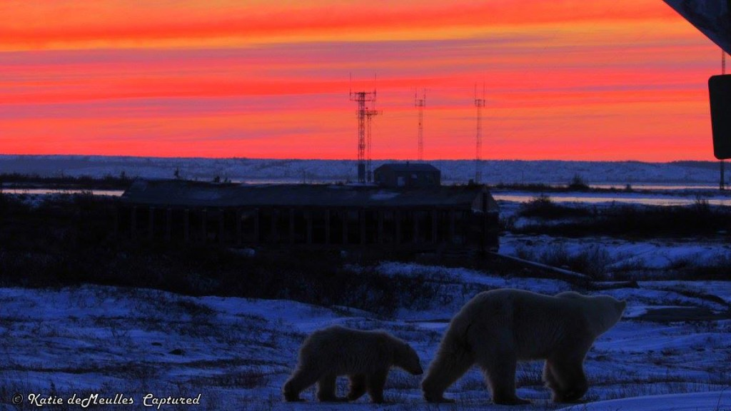 polar bears and sunset churchill, Manitoba