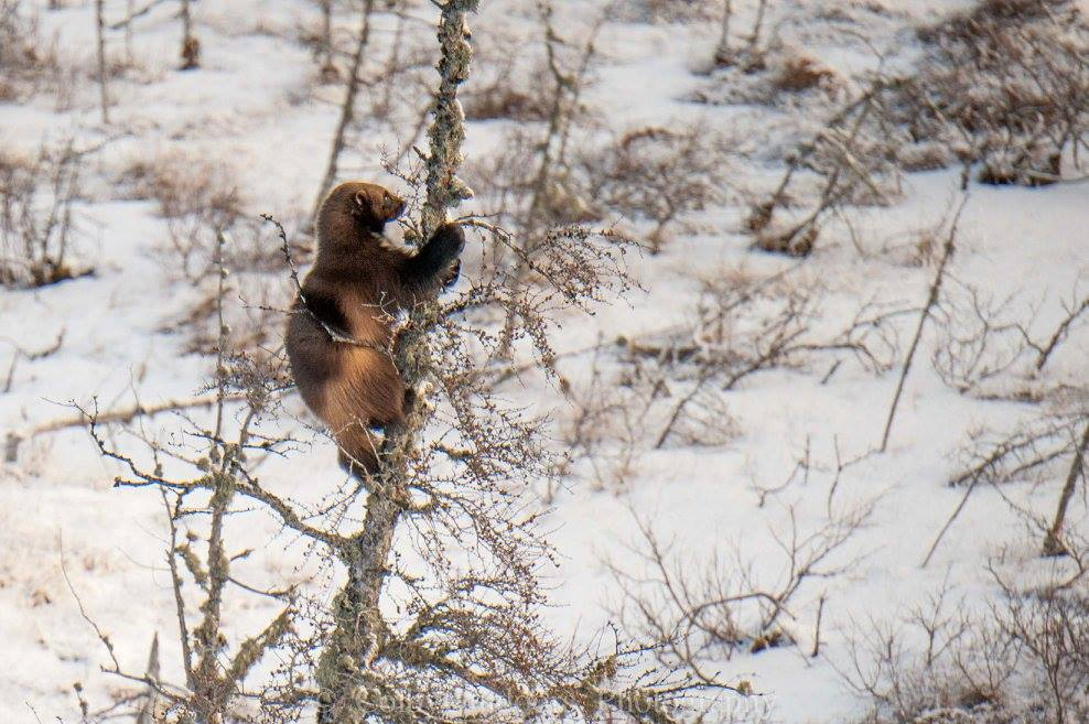 Churchill, Manitoba wolverine