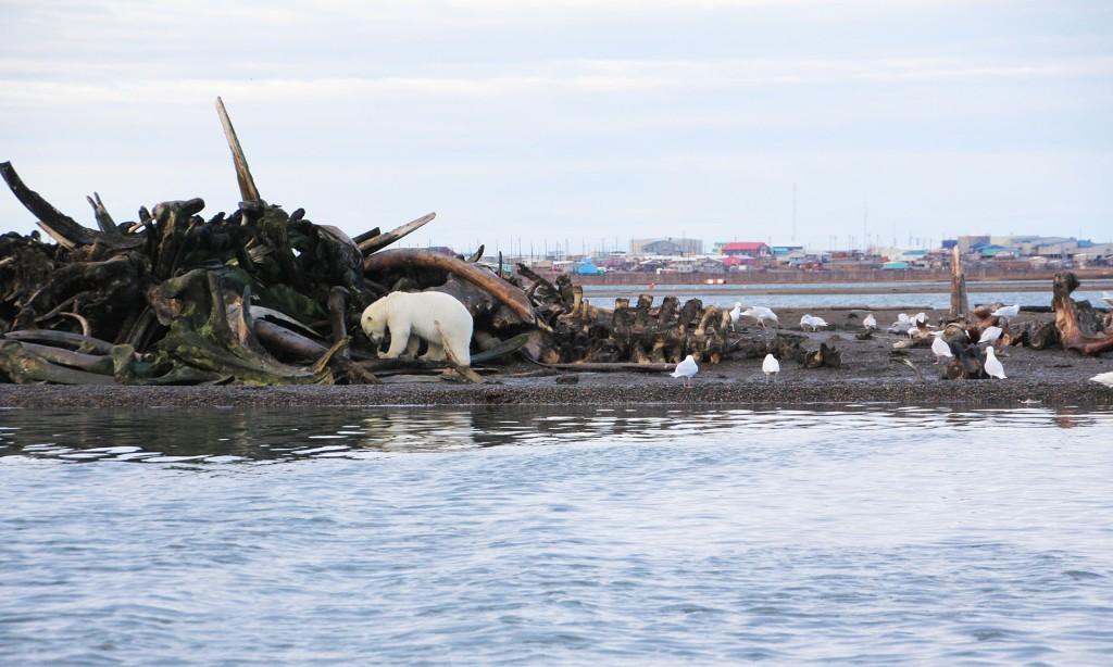 polar bear whale carcass