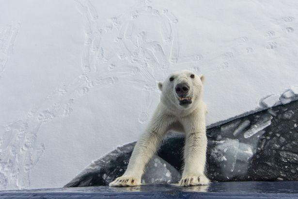 polar bear Spitsberegn