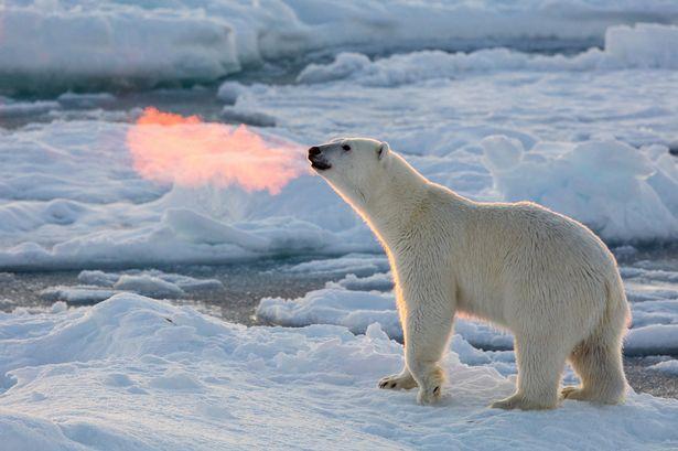 polar bear at arctic circle