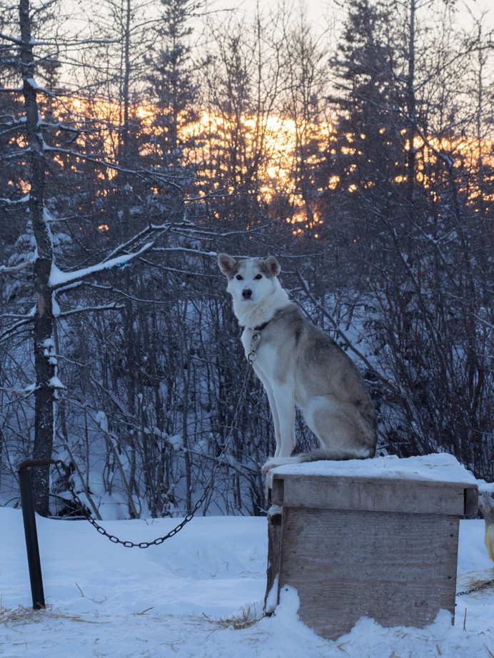 Wapusk sled dog Churchill, Manitoba