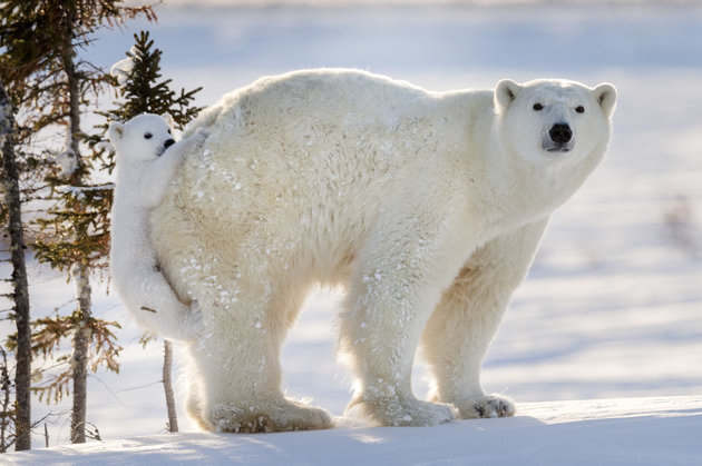 PIC FROM DAISY GILARDINI/CATERS NEWS (Pictured: Polar bear cub hitching a ride on mamas bum at Wapusk National Park in Manitoba, Canada) -This is the cute moment a cute cub decided to hitch a lift on its mums bear bum. The four-month-old cheeky baby bear must have had some tired paws as it opted for a beary-back-ride instead of walking during what was one of its first trips out of the den. Polar bear cubs and their mum usually spend the first three months of their lives in a den. The two had only just come out into the wild and were presumably foraging for food to hunt. It is extremely difficult and rare to witness the bears exit from the den and incredibly, these photographs were the result of 117 HOURS OF WAITING. Professional wildlife and nature photographer Daisy Gilardini, spent nearly two weeks waiting in front of a polar bear den with winds gusting to 60-70 km/h. SEE CATERS COPY