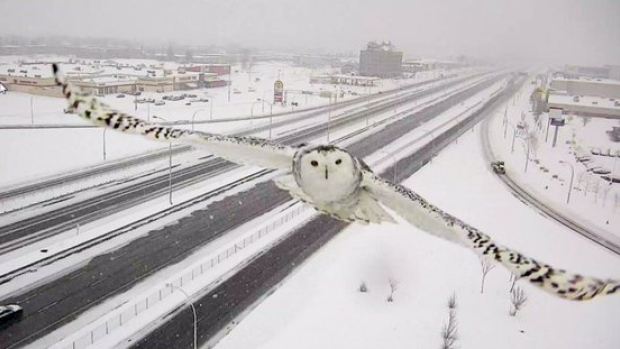 snowy owl in Montreal, Quebec