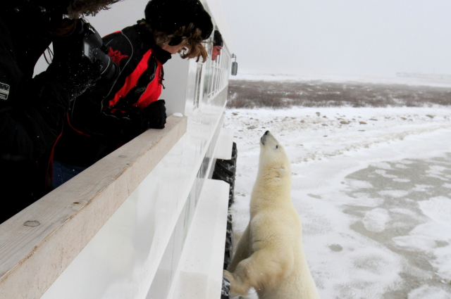 polar bear on polar rover churchill manitoba