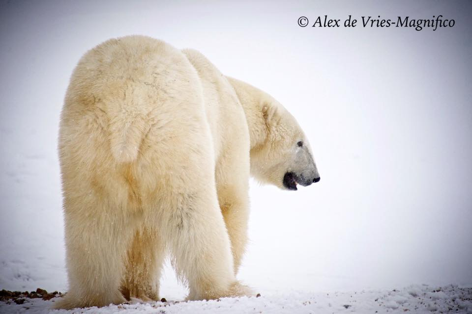 polar bear on the tundra in Churchill, Manitoba