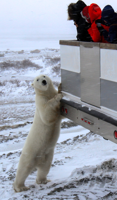polar bear on a polar rover in Churchill, Manitoba