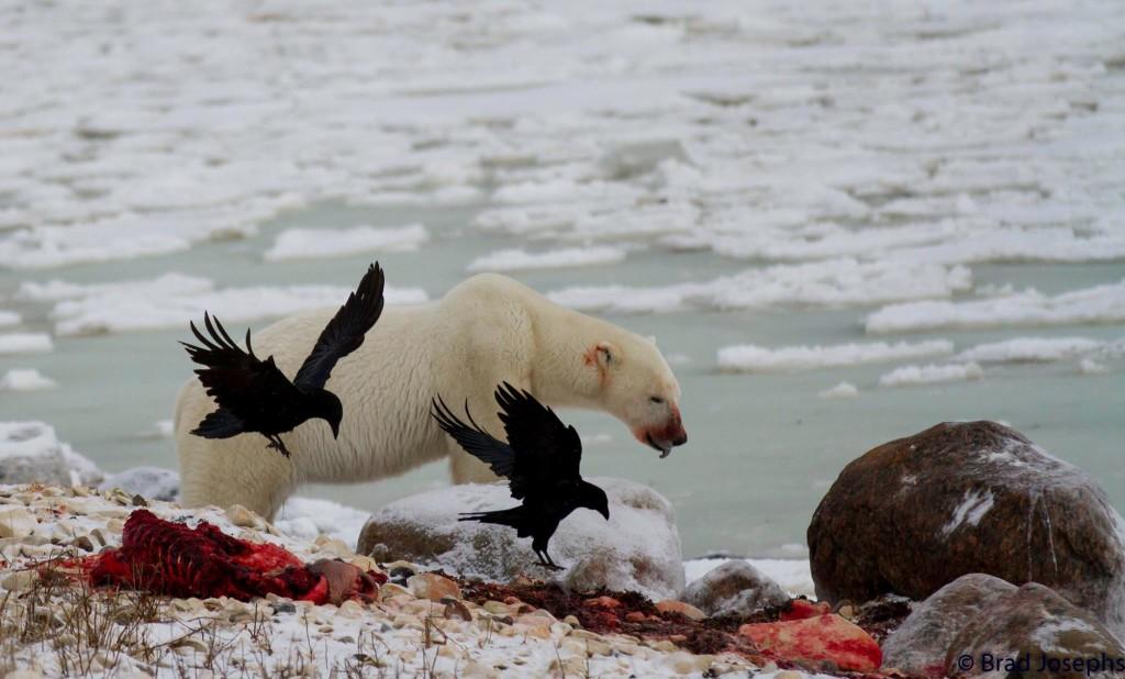 brad josephs polar bear seal kill