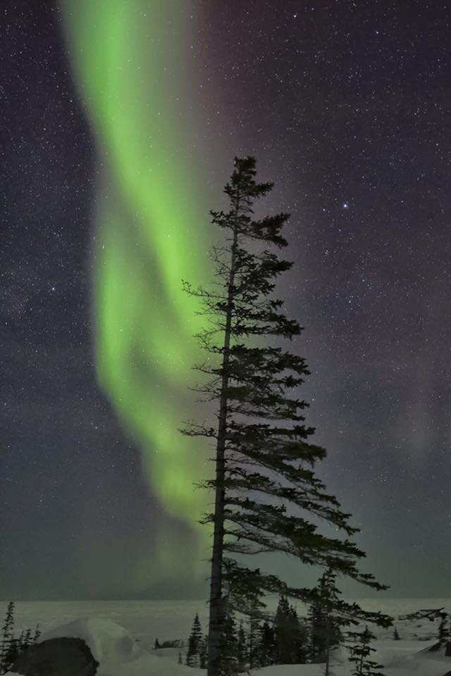 Krumholz spruce with northern lights