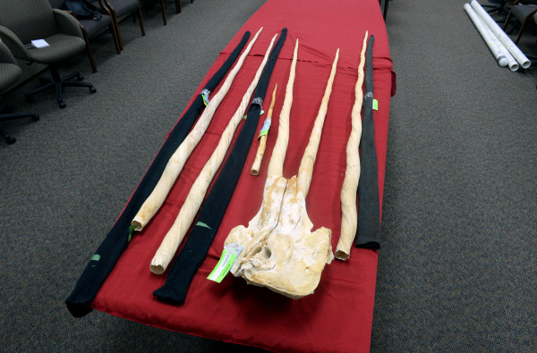 Narwhal tusks that were evidence in the trial of Andrew J. Zarauskas. Linda Coan O'Kresik | BDN photo.