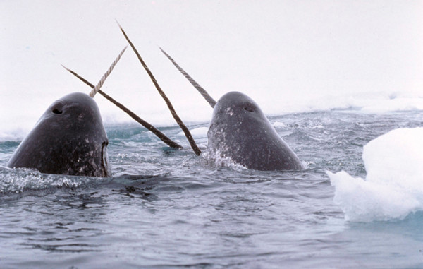 Narwhals in the Arctic. National Institute of Standards and Technology via Wikimedia Commons photo.