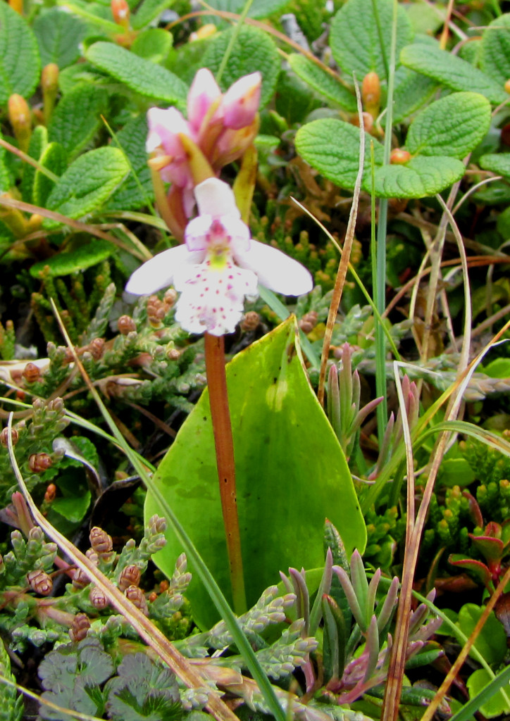 Round - leaved orchid in Churchill. Natural Habitat Adventures photo.