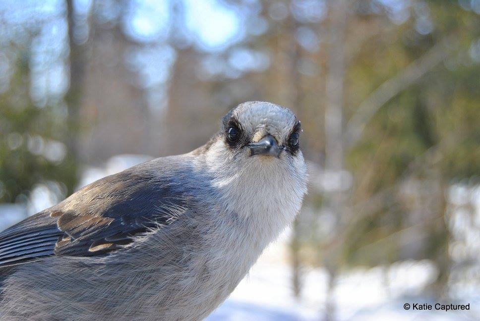 Gray jay churchill, Manitoba