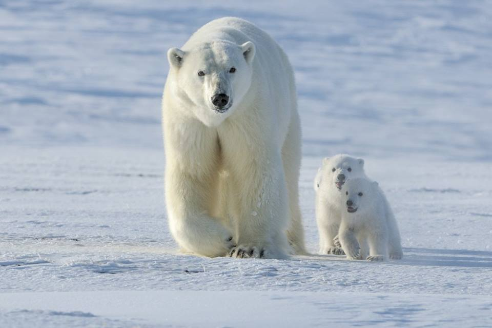 Polar bar family churchill, Manitoba