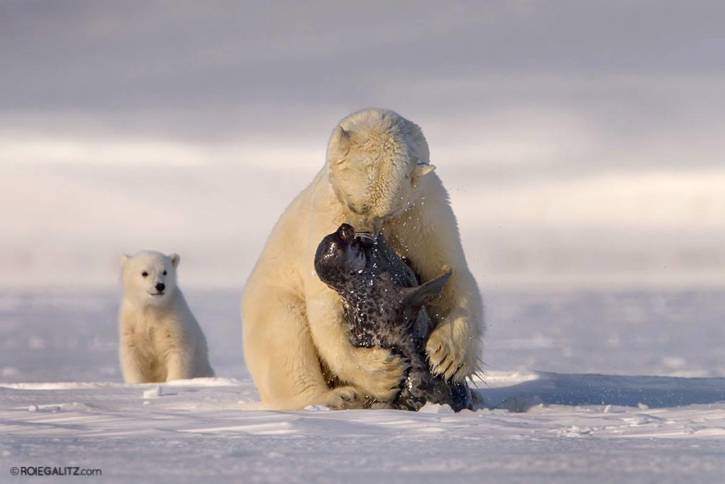 polar bear hunting seals