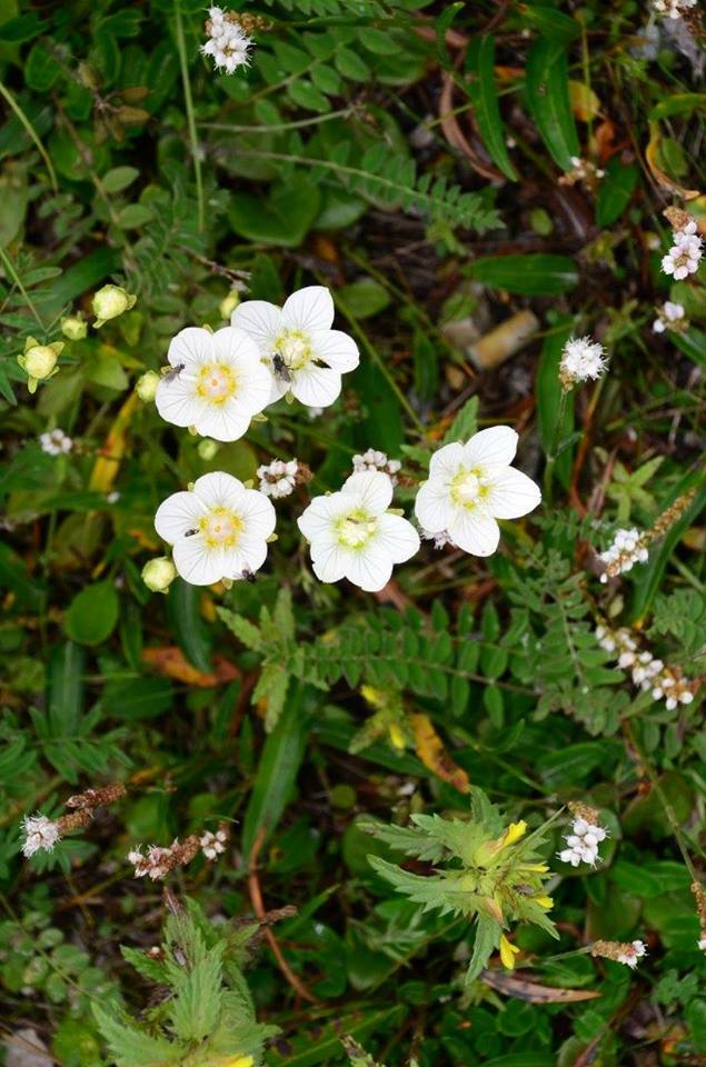 grass of parnassus churchill, Manitoba