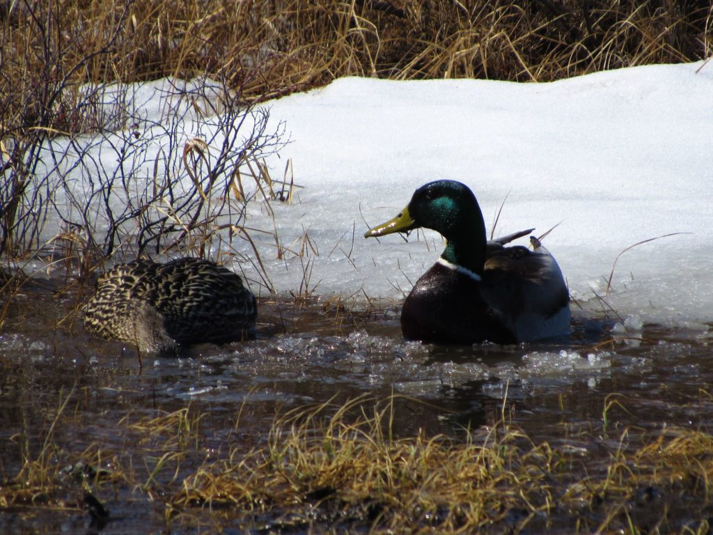 mallard ducks in Churchill