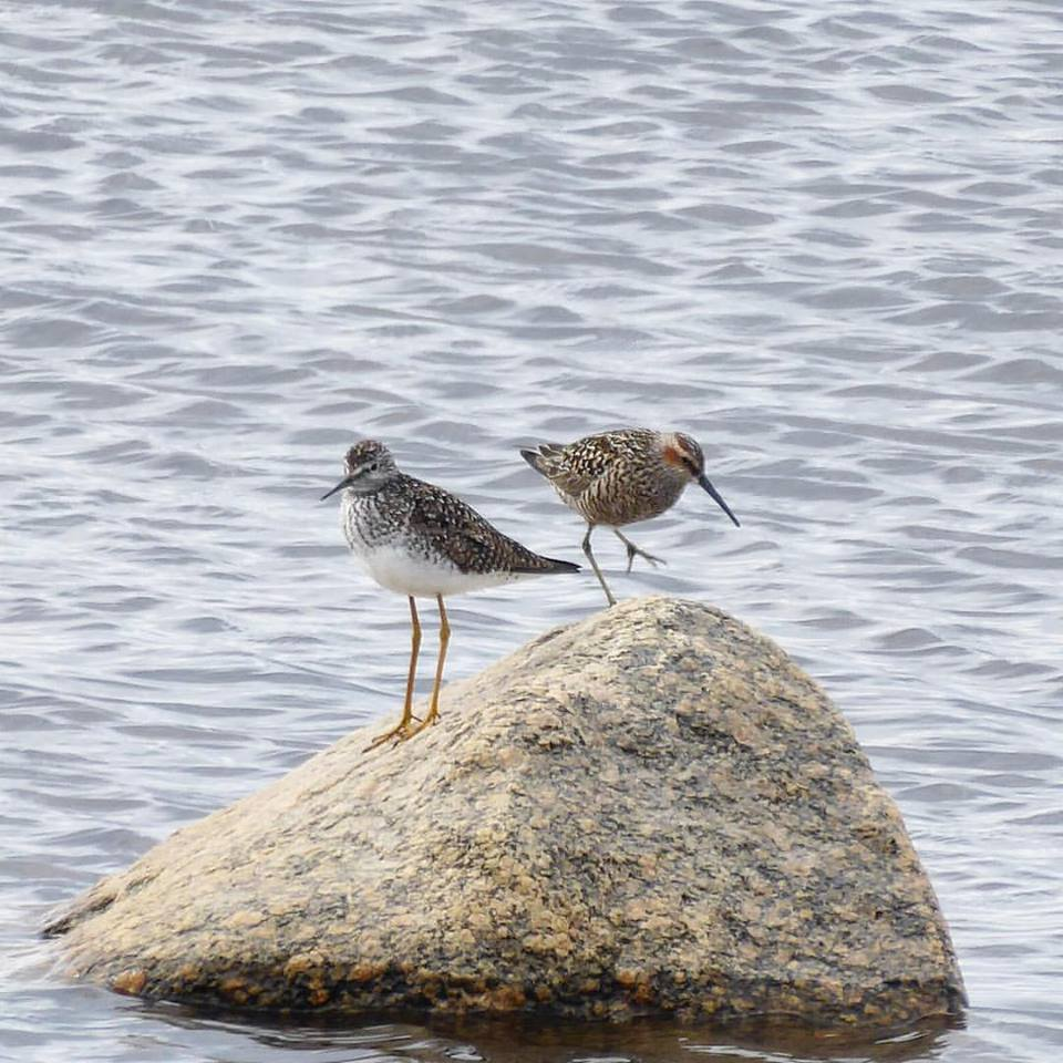 short billed dowitcher and lesser yellowlegs