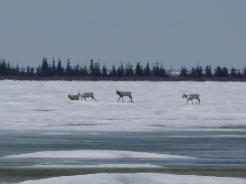 Caribou crossing Churchill river