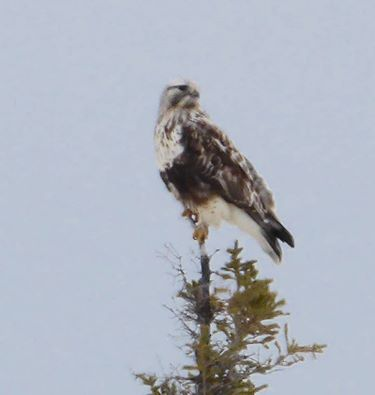 Rough legged hawk churchill, Manitoba