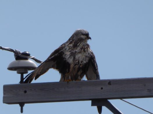 rough legged hawk in Churchill, Manitoba