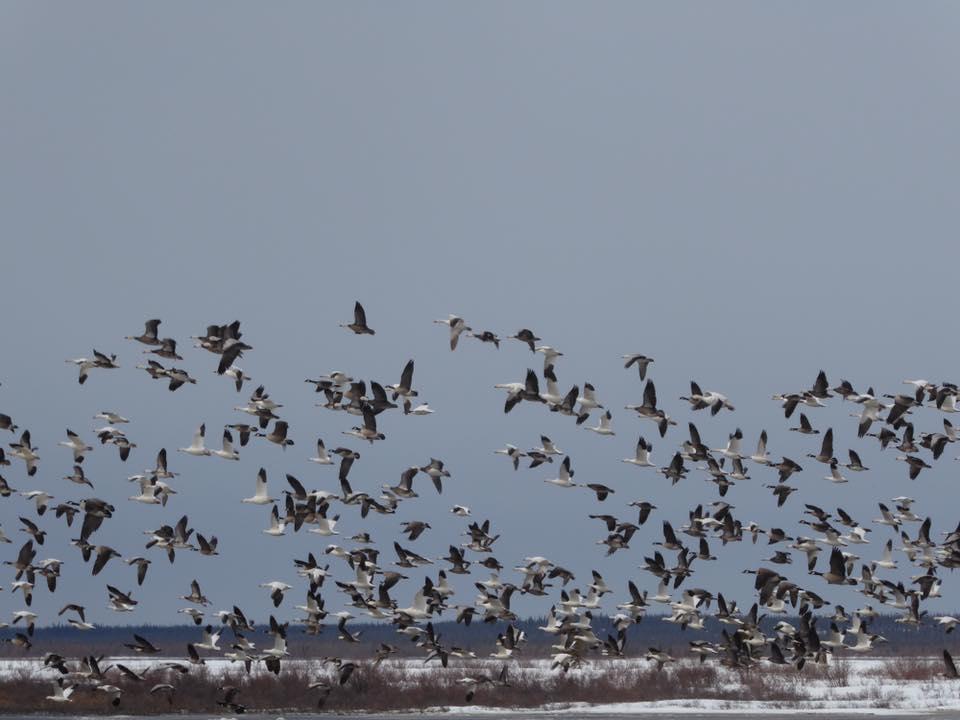 snow geese churchill, manitoba