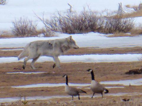wolf in Churchill, Manitoba