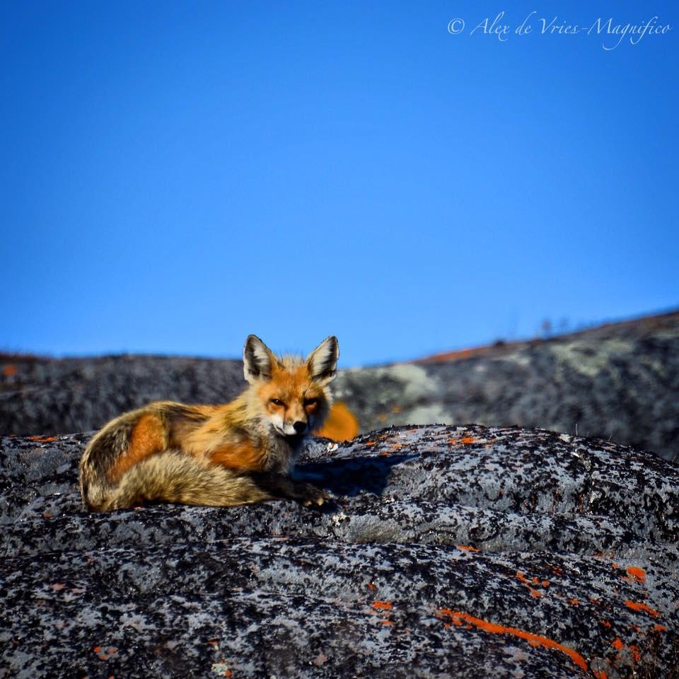red fox Churchill