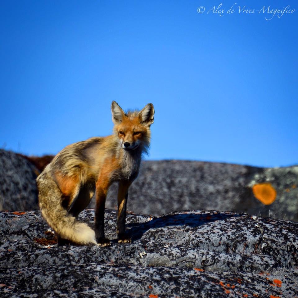 red fox churchill, Manitoba