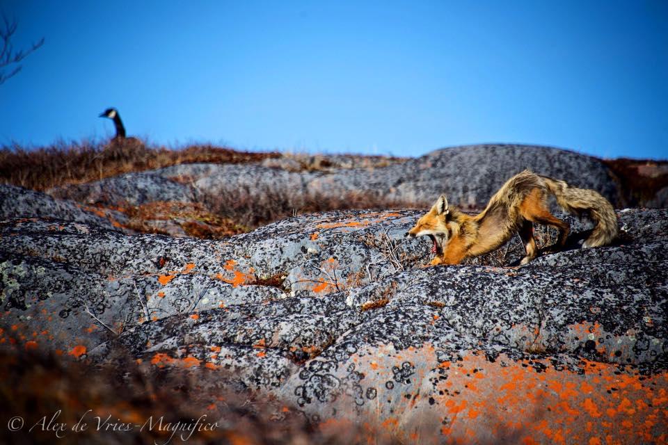 red fox canada goose in Churchill, Manitoba