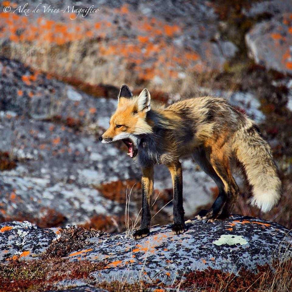 red fox in Churchill, Manitoba