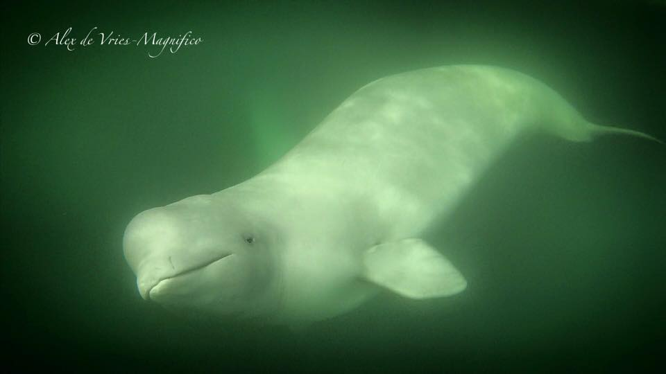 beluga whale in Churchill River