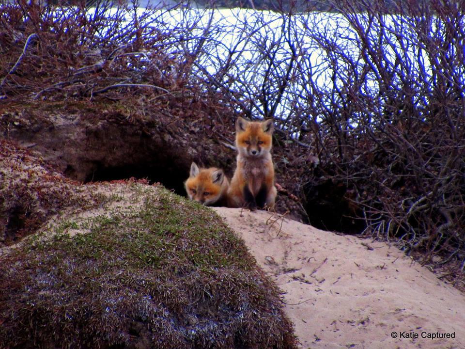 Red Fox KD 5