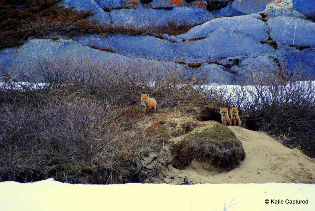 Red Fox KD 7