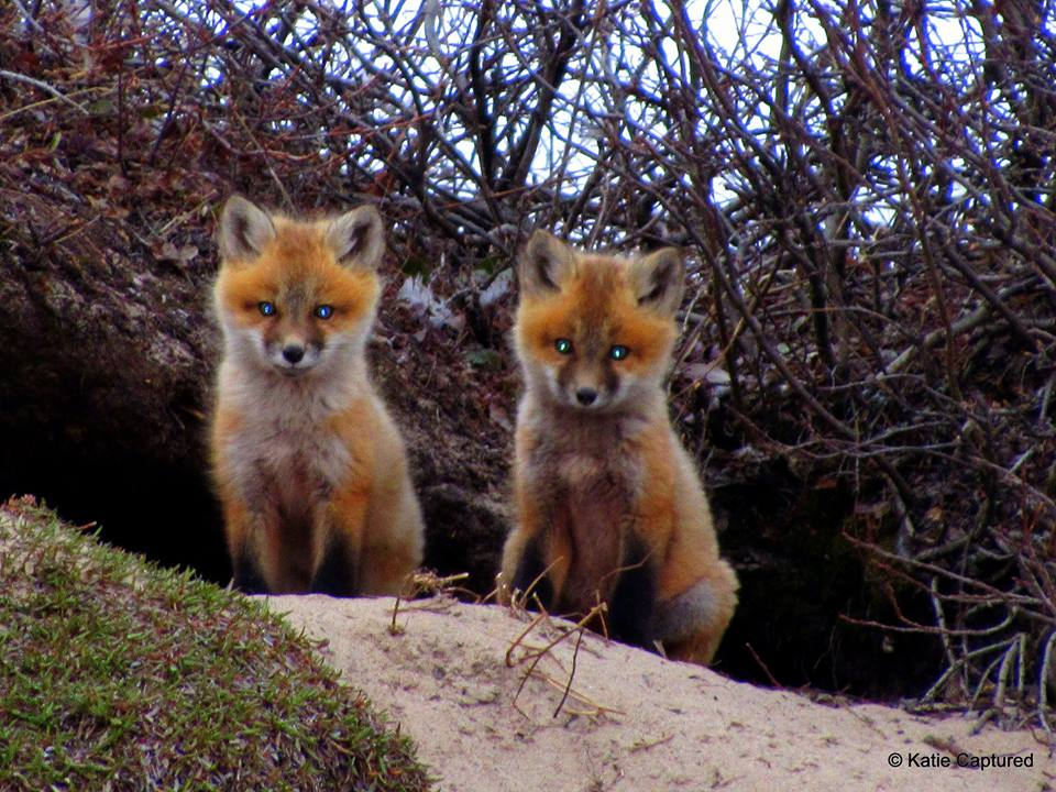 red foxes in Churchill