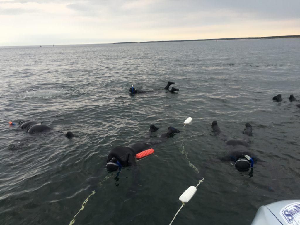 beluga whales churchill, Manitiba