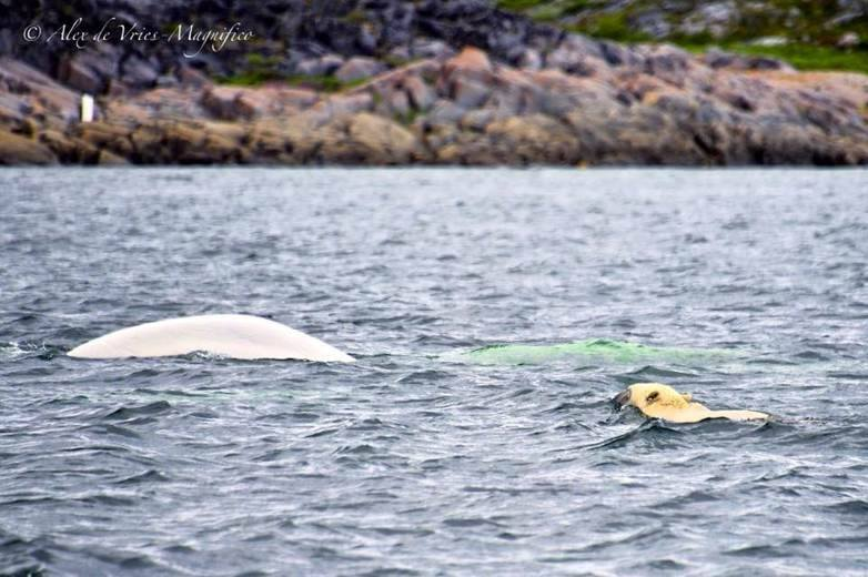belugas and polar bear churchill, MAnitoba
