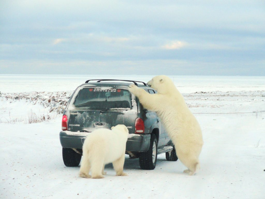 Churchill Sunday Photo - Polar Bears | Churchill Polar Bears