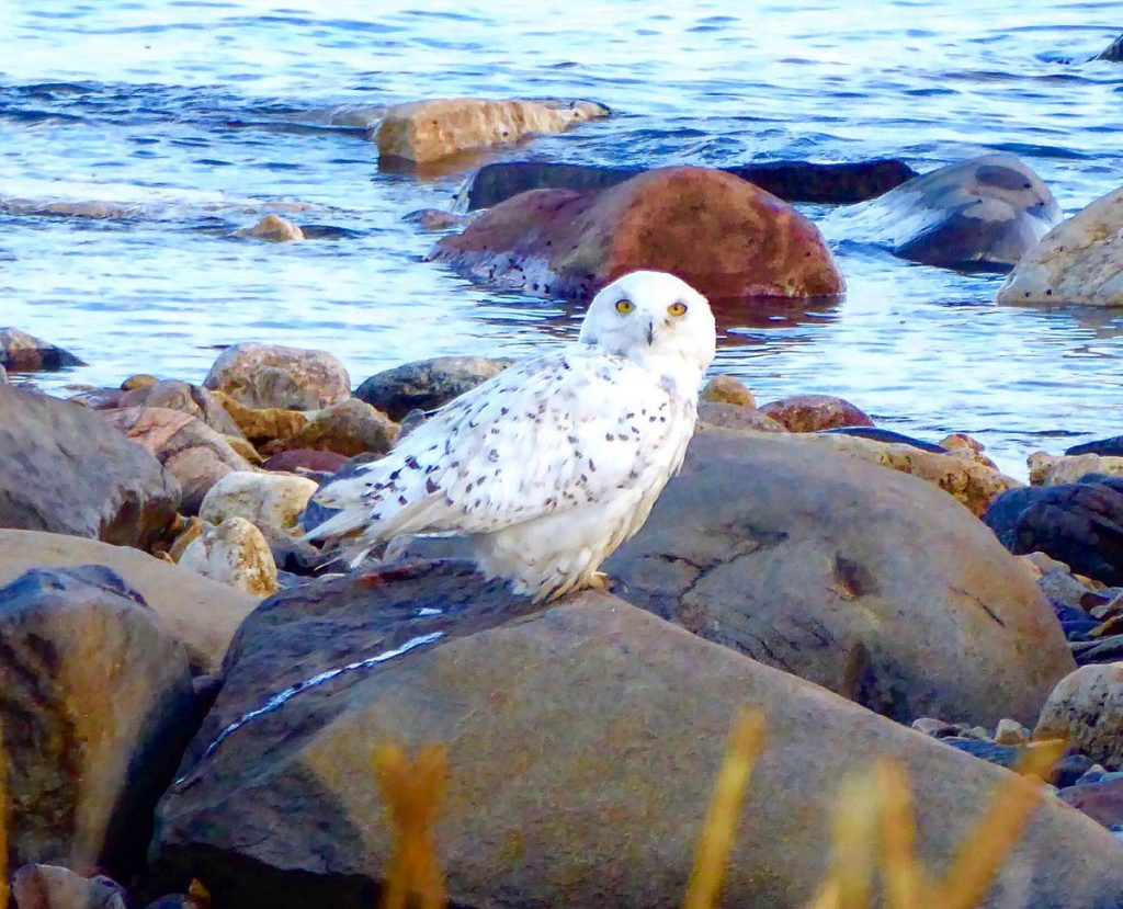 snowy owl churchill