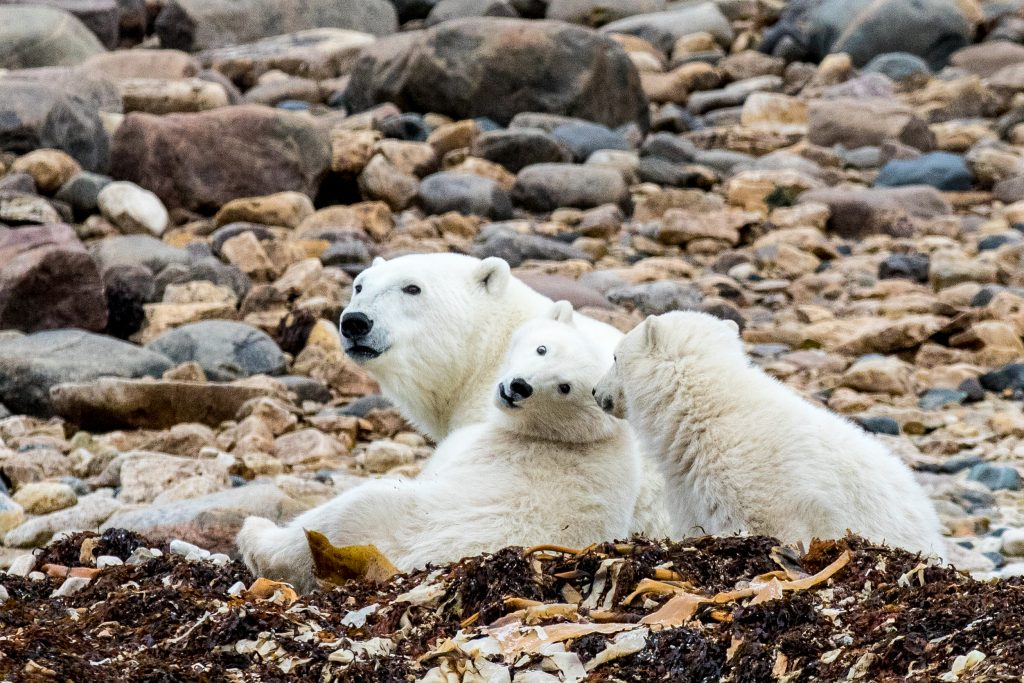 polar bears Churchill , Manitoba