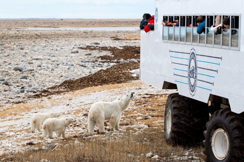polar bear family churchill, Manitoba