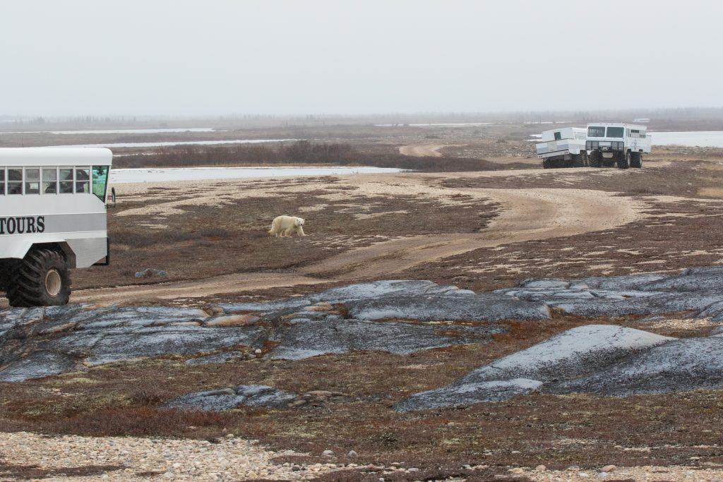 polar bears and polar rovers churchill, Manitoba
